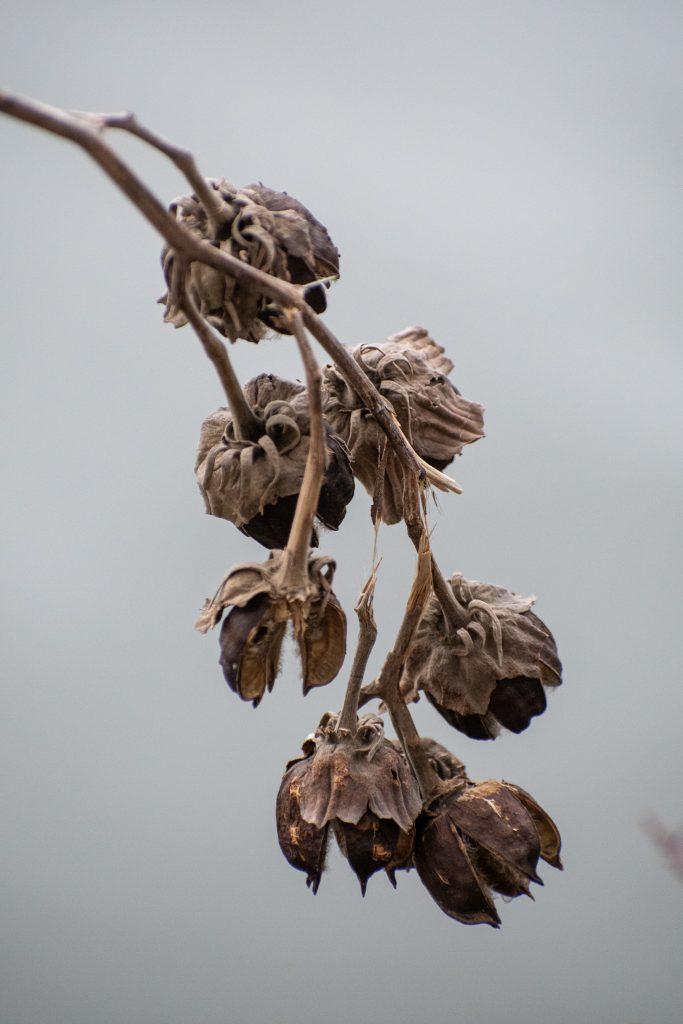 Rose mallow pods, Prospect Park