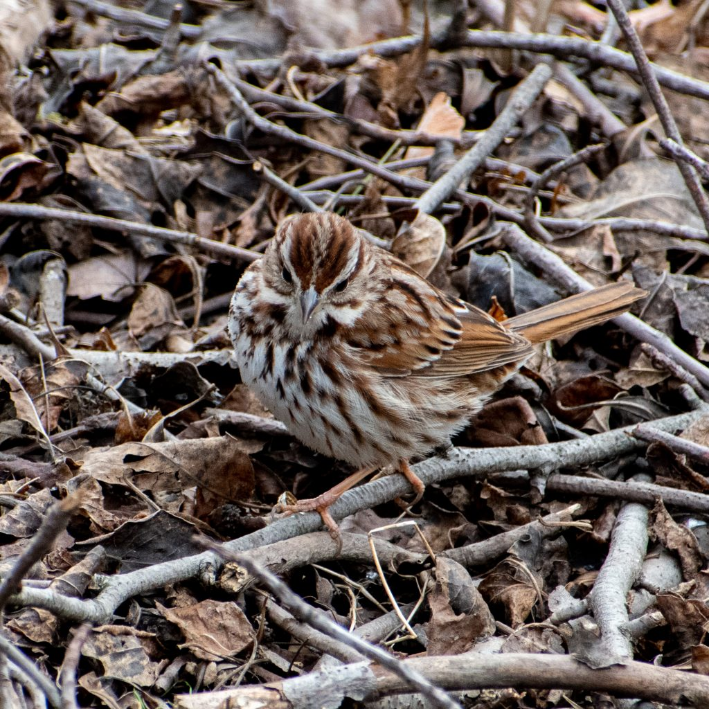 Song sparrow, Green-Wood Cemetery