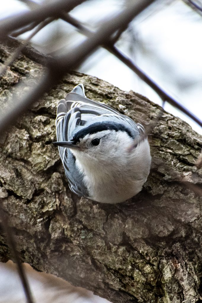 White-breasted nuthatch, Green-Wood Cemetery