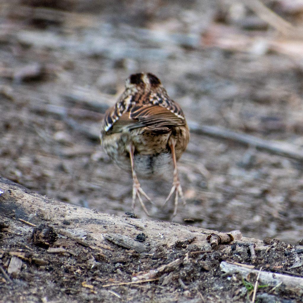 White-throated sparrow, Prospect Park