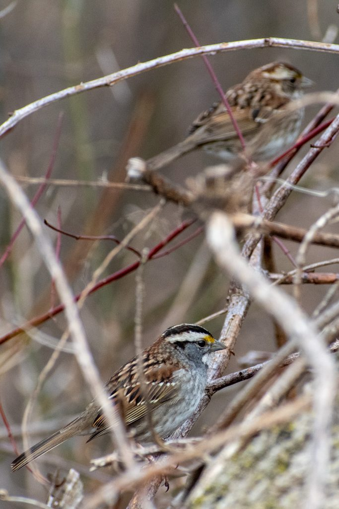 White-throated sparrows, Prospect Park