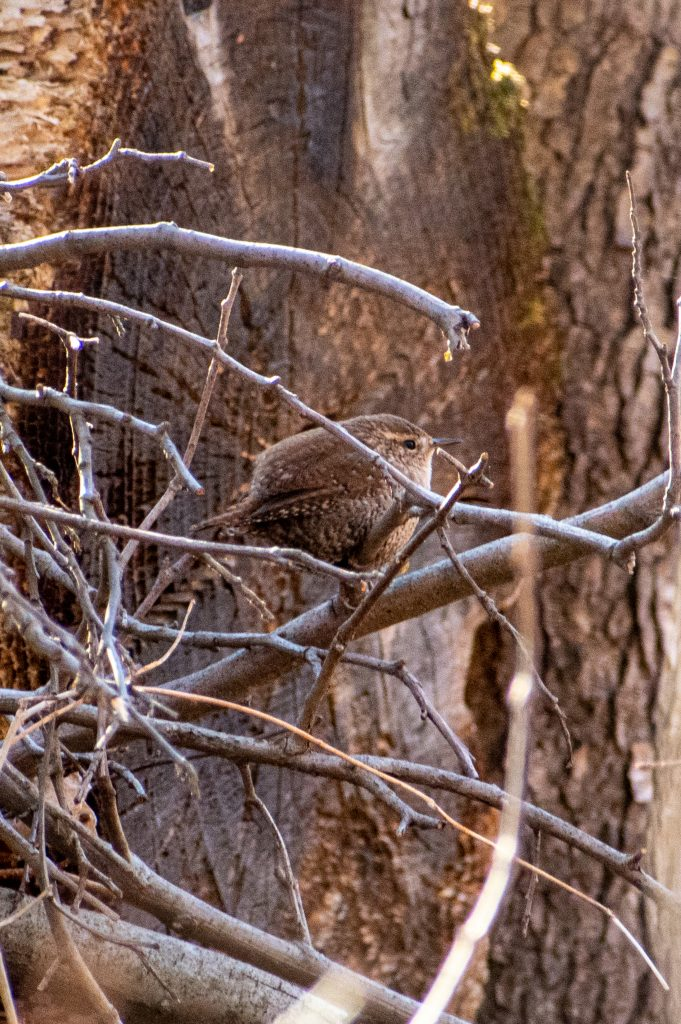 Winter wren, Prospect Park