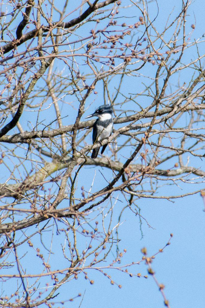 Belted kingfisher, Prospect Park