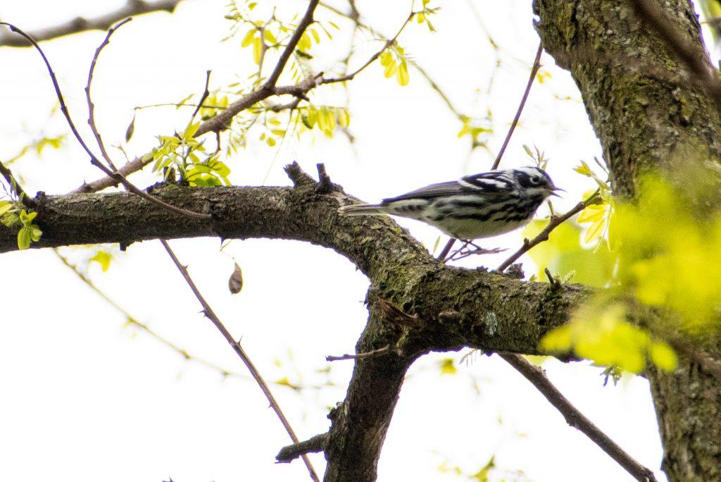 Black-and-white warbler, Prospect Park