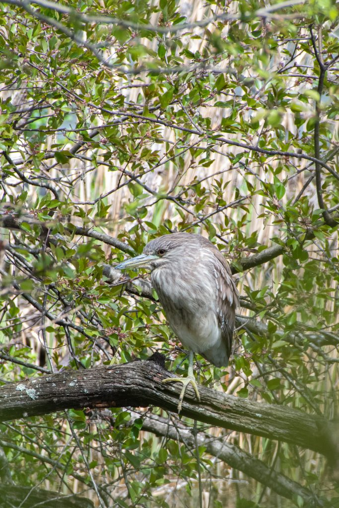 Black-crowned night heron (juvenile), Prospect Park
