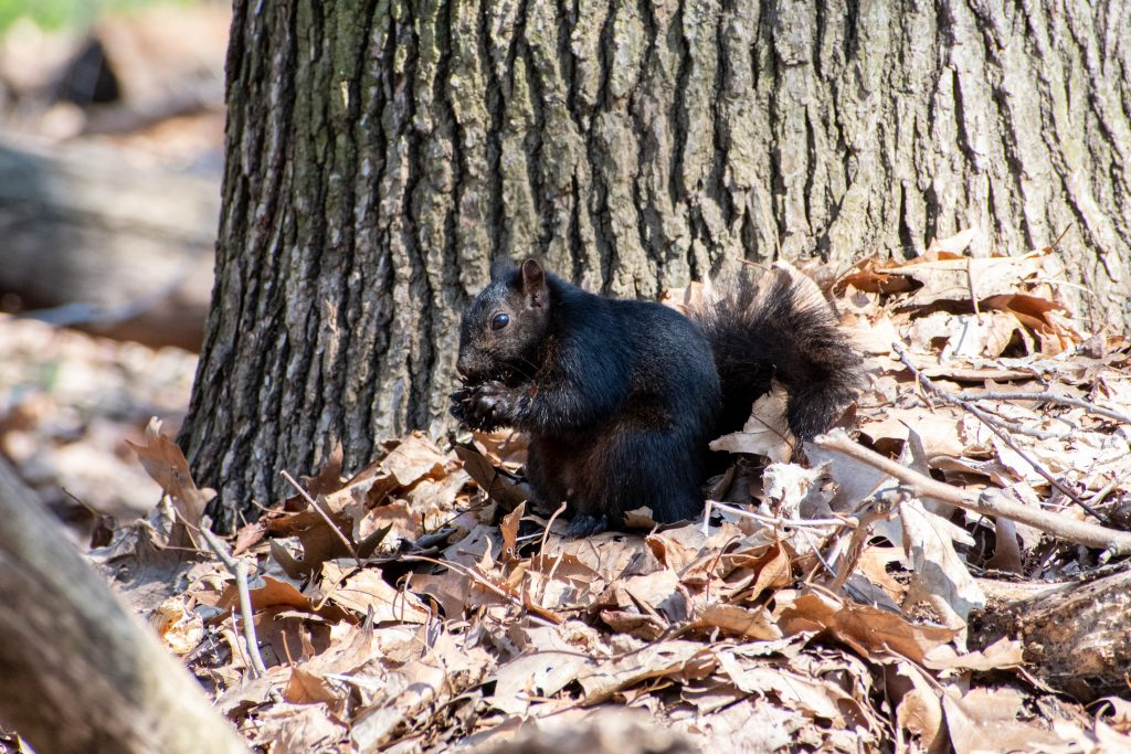 Black squirrel, Prospect Park