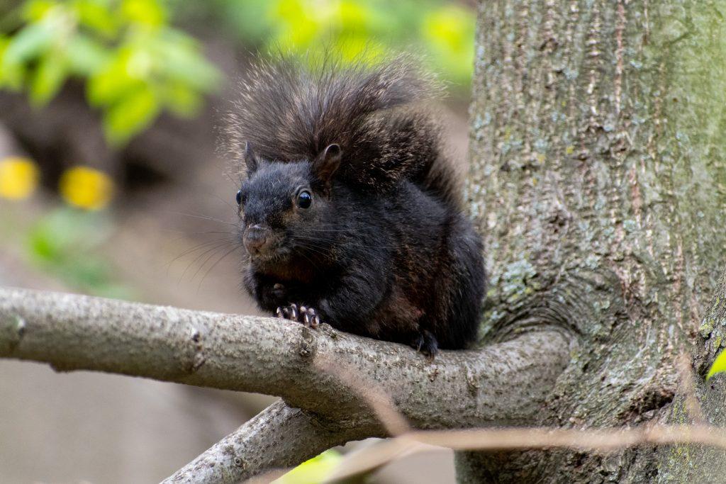 Black squirrel, Green-Wood Cemetery