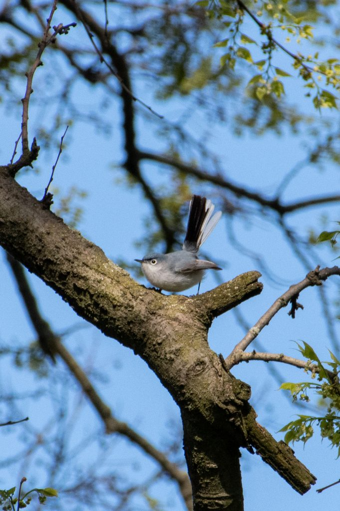Blue-gray gnatcatcher, Green-Wood Cemetery