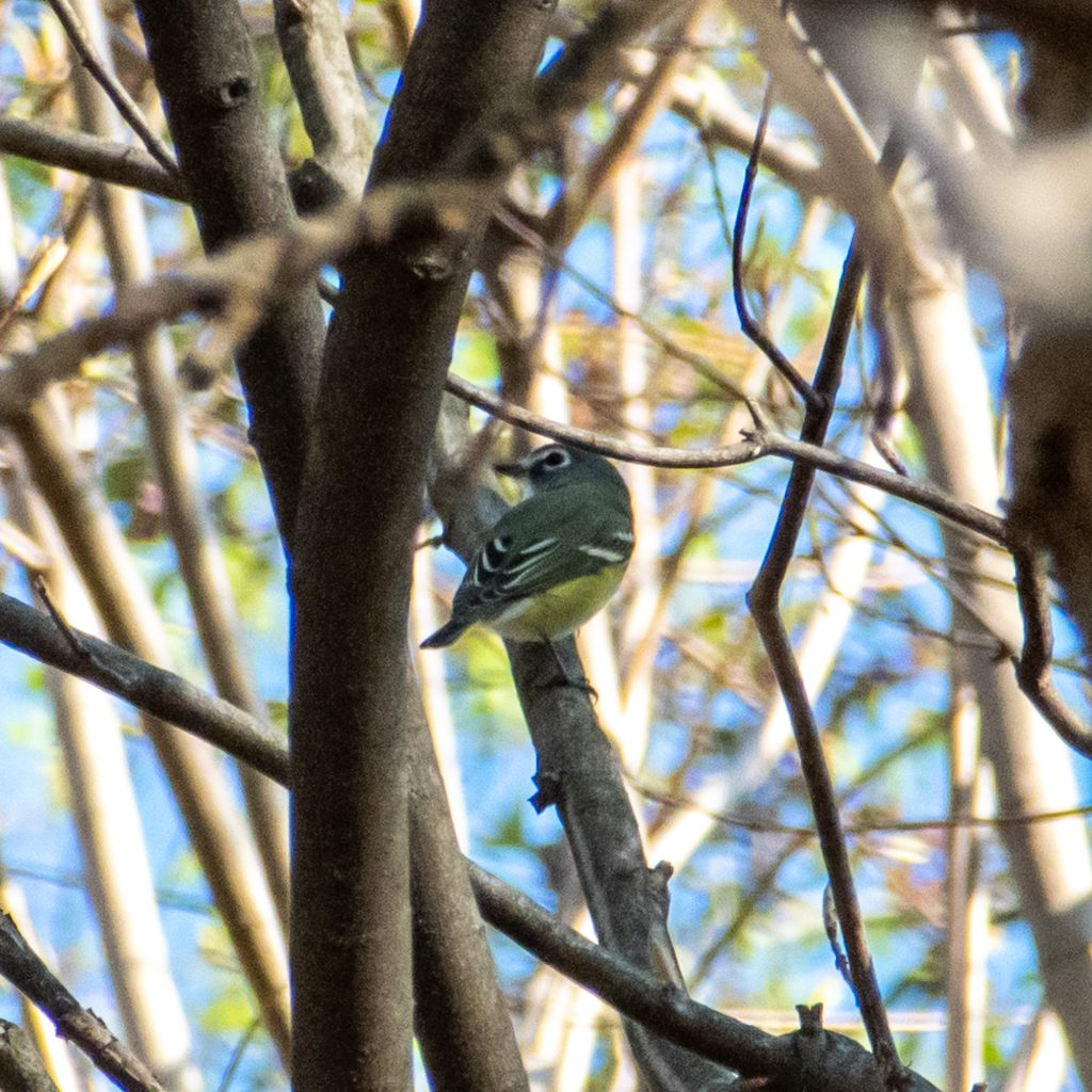 Blue-headed vireo, Prospect Park
