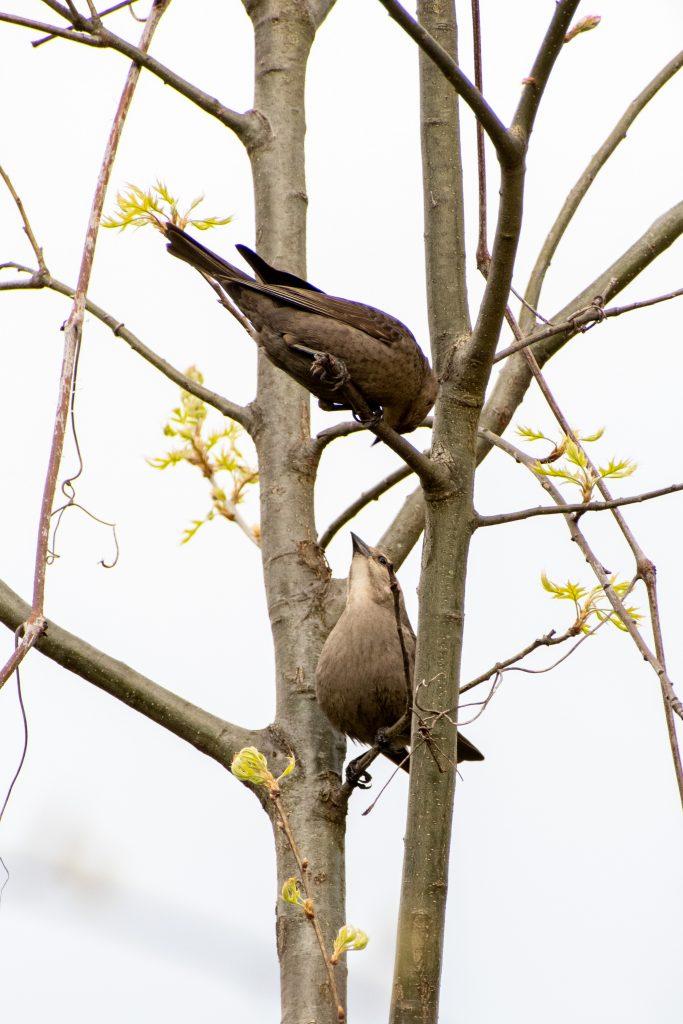 Brown-headed cowbirds, Prospect Park