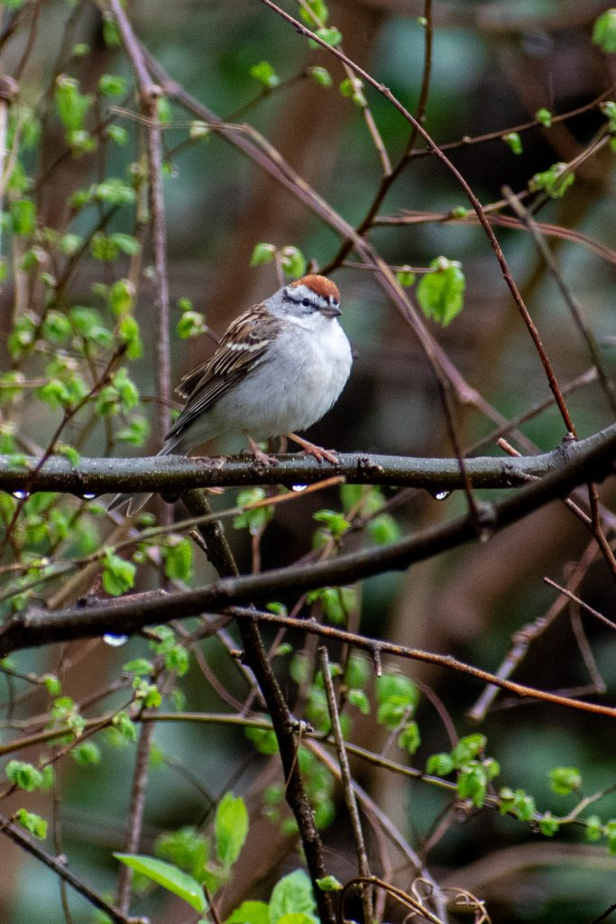 Chipping sparrow, Prospect Park