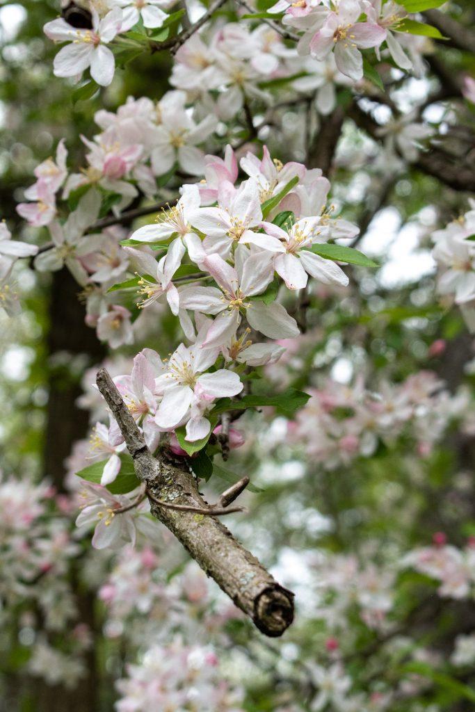Common apple, Prospect Park