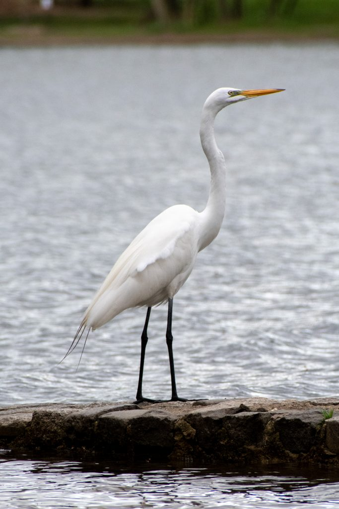 Great egret, Prospect Park