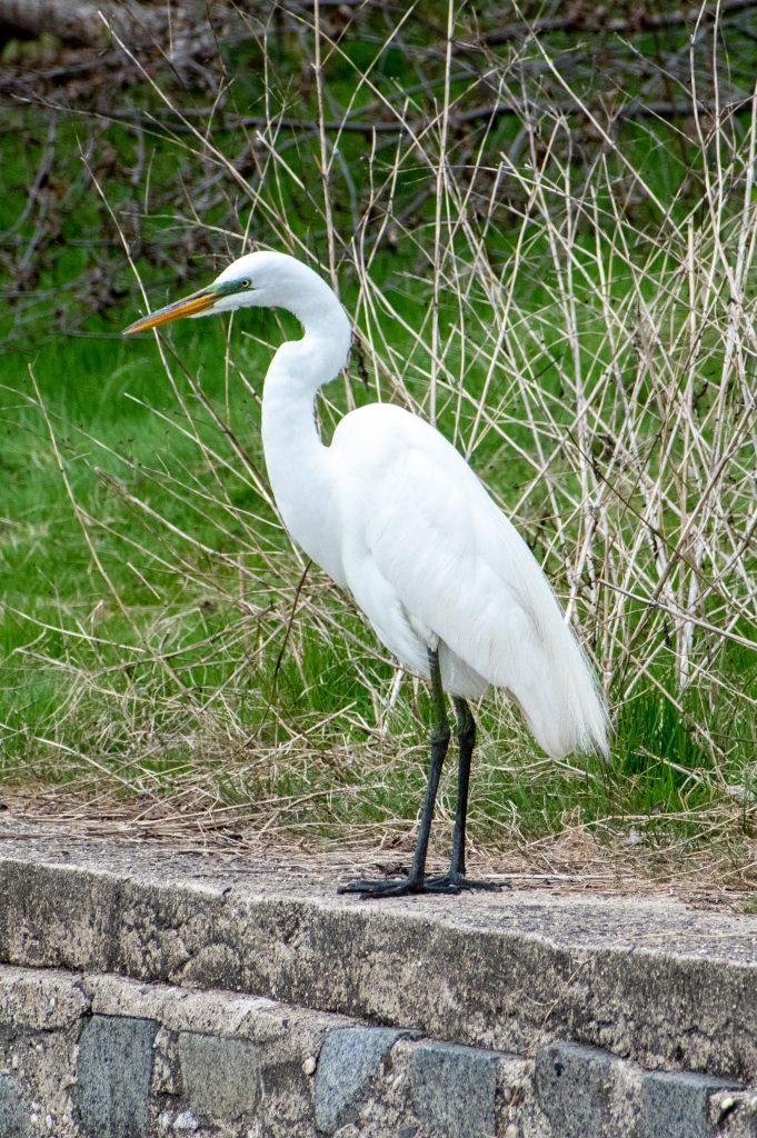 Great egret, Greenwood Cemetery