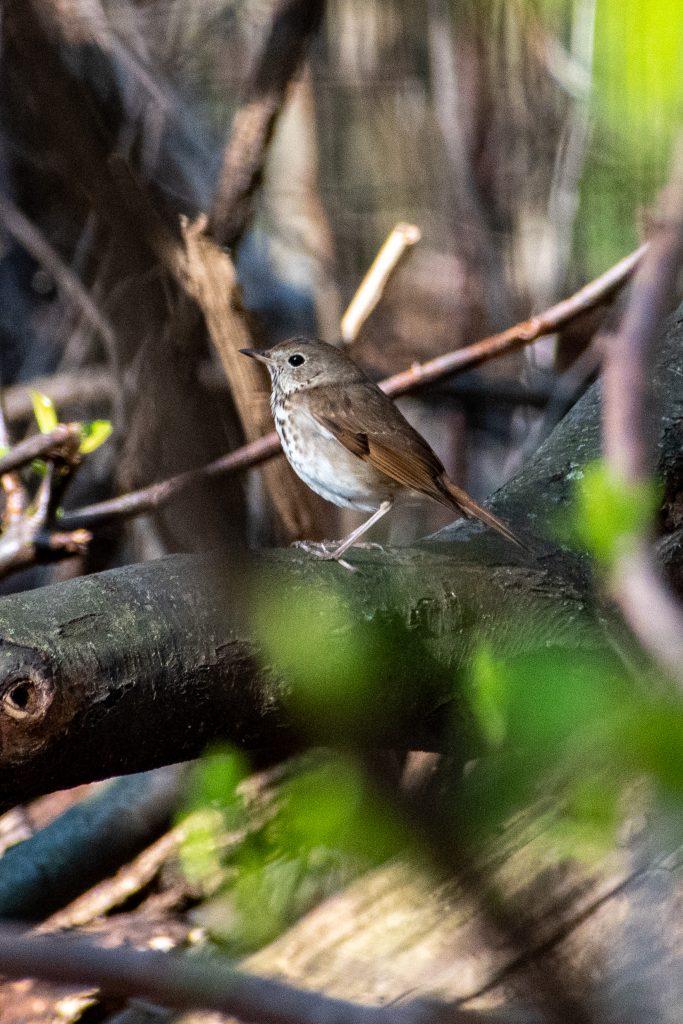 Hermit thrush, Prospect Park