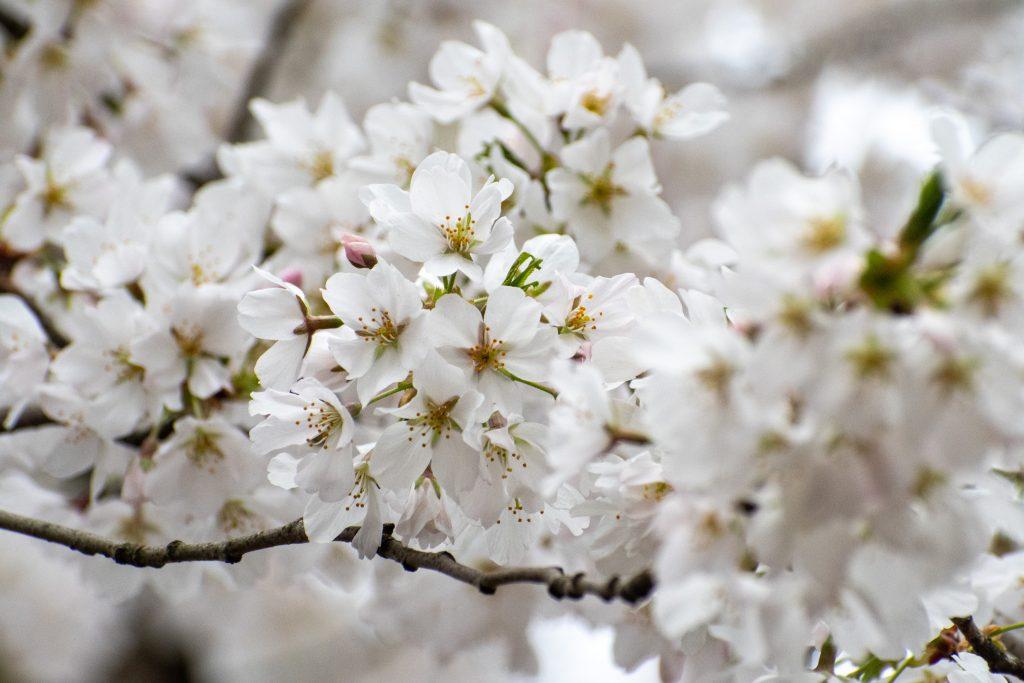 Japanese flowering cherry, Prospect Park