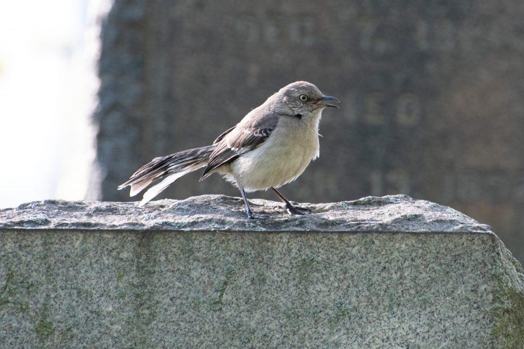 Northern mockingbird, Green-Wood Cemetery