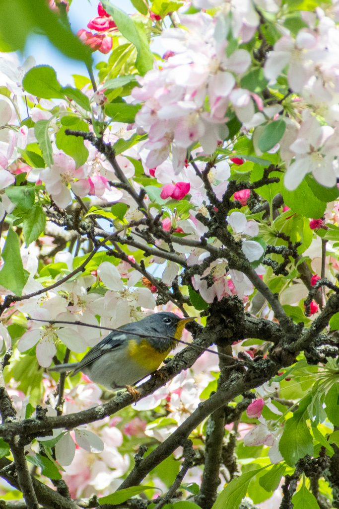 Northern parula, Green-Wood Cemetery