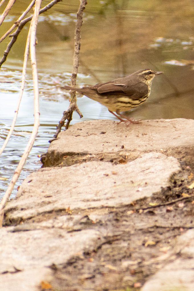 Northern waterthrush, Prospect Park