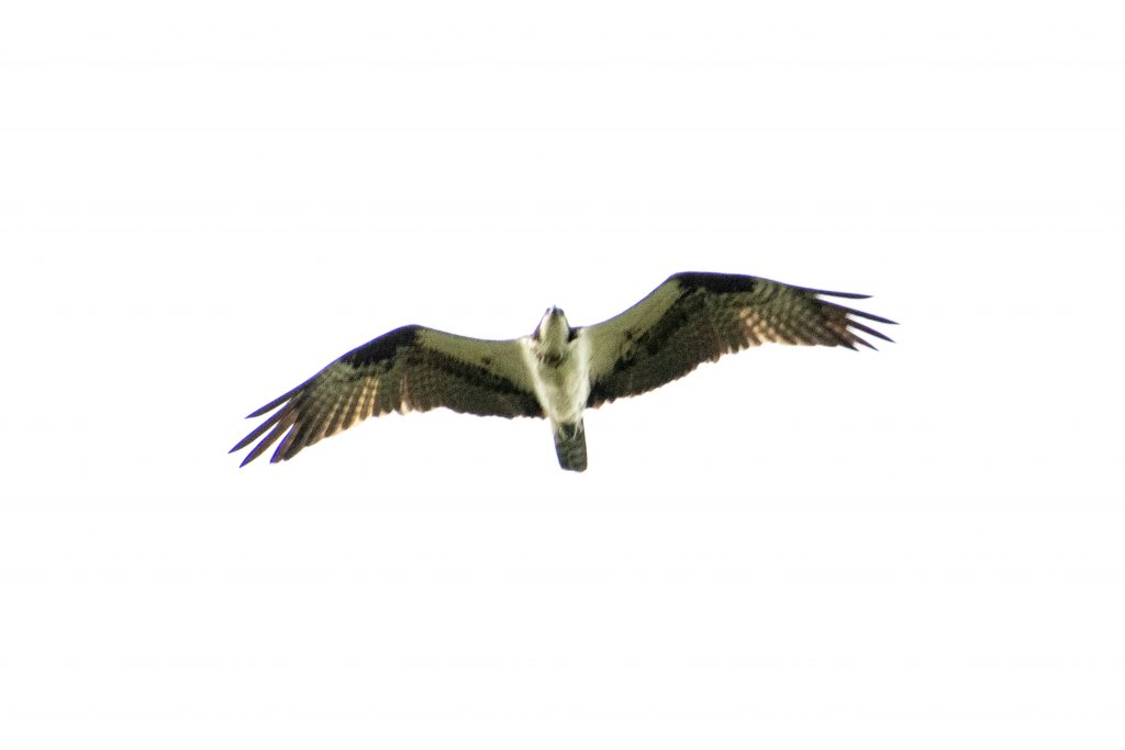 Osprey, Prospect Park