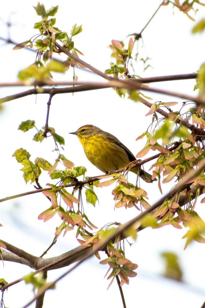 Palm warbler, Prospect Park