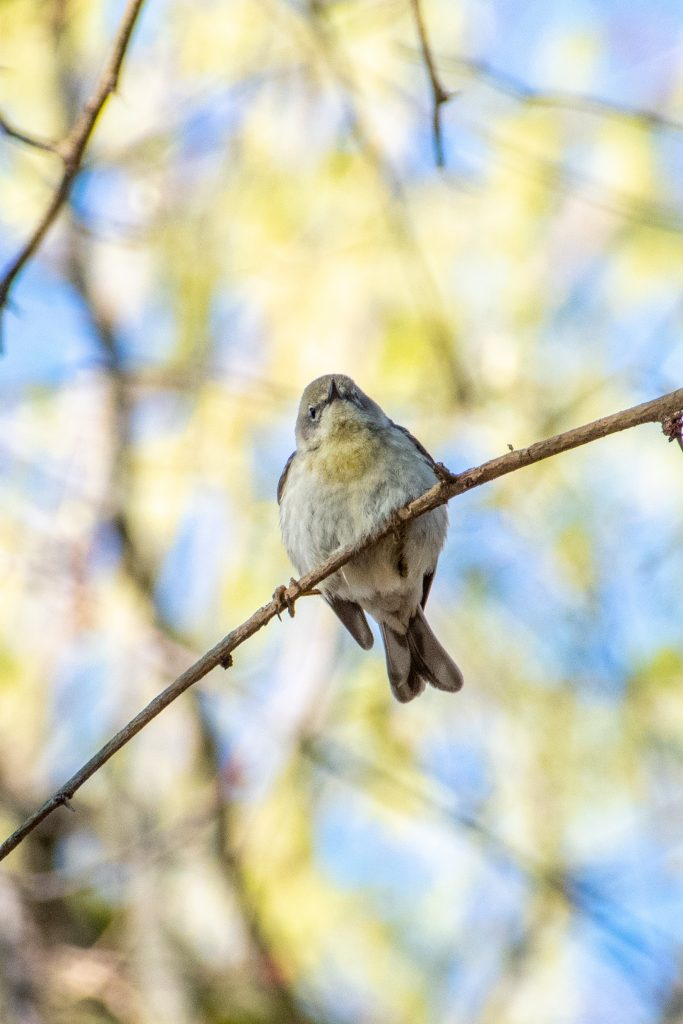 Pine warbler, Prospect Park