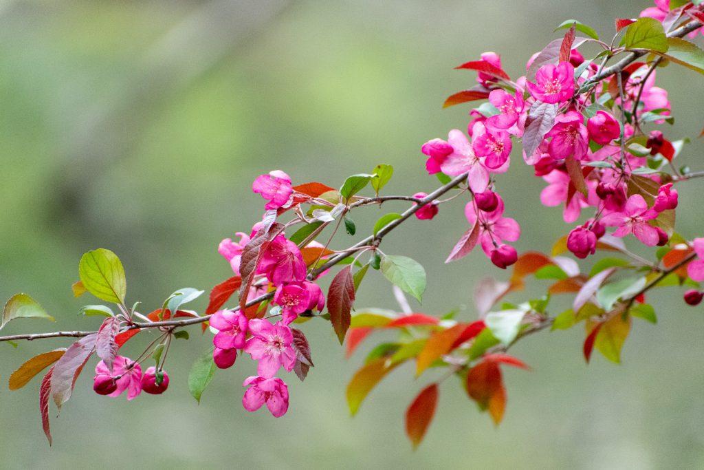 Plum flowers, Prospect Park