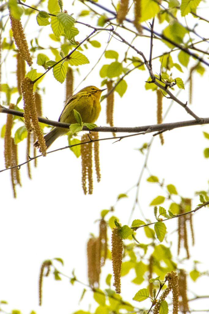 Prairie warbler, Green-Wood Cemetery