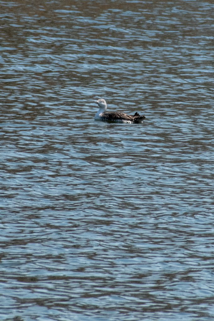 Red-throated loon, Prospect Park