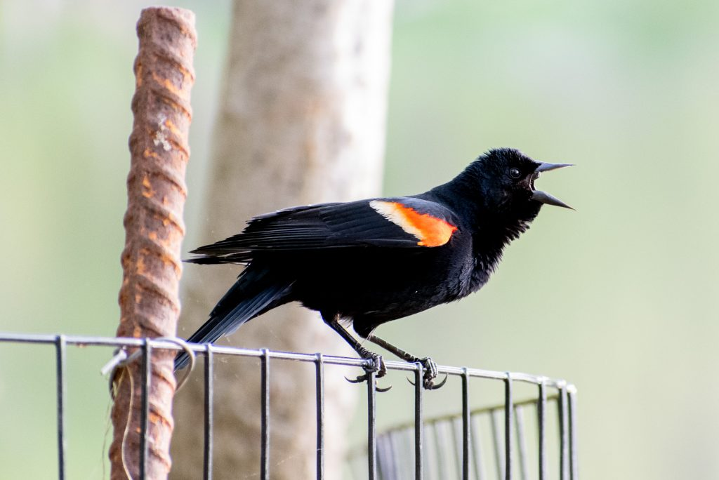 Red-winged blackbird (male), Prospect Park