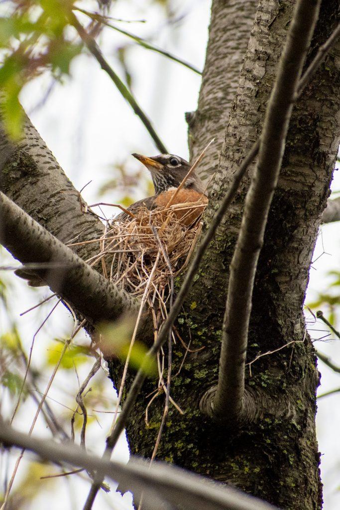 American robin, building nest, Prospect Park