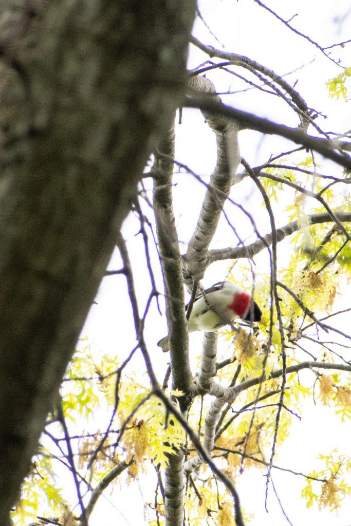 Rose-breasted grosbeak, Prospect Park