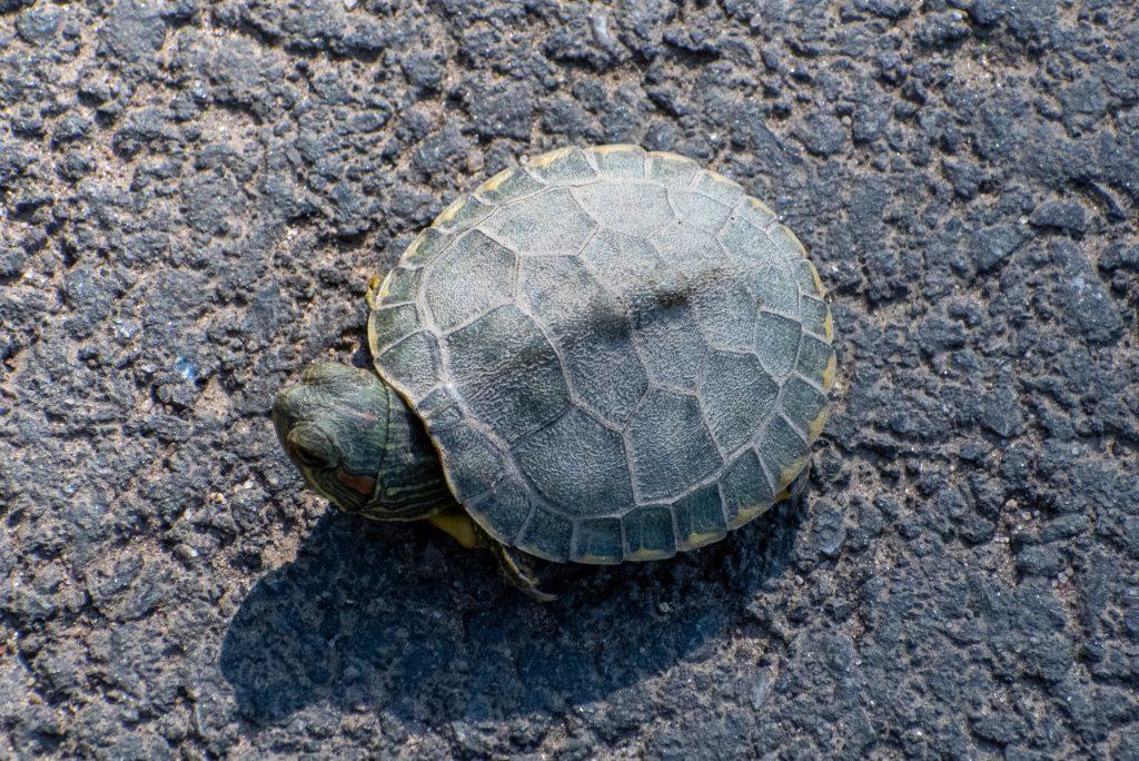 Turtle, Prospect Park