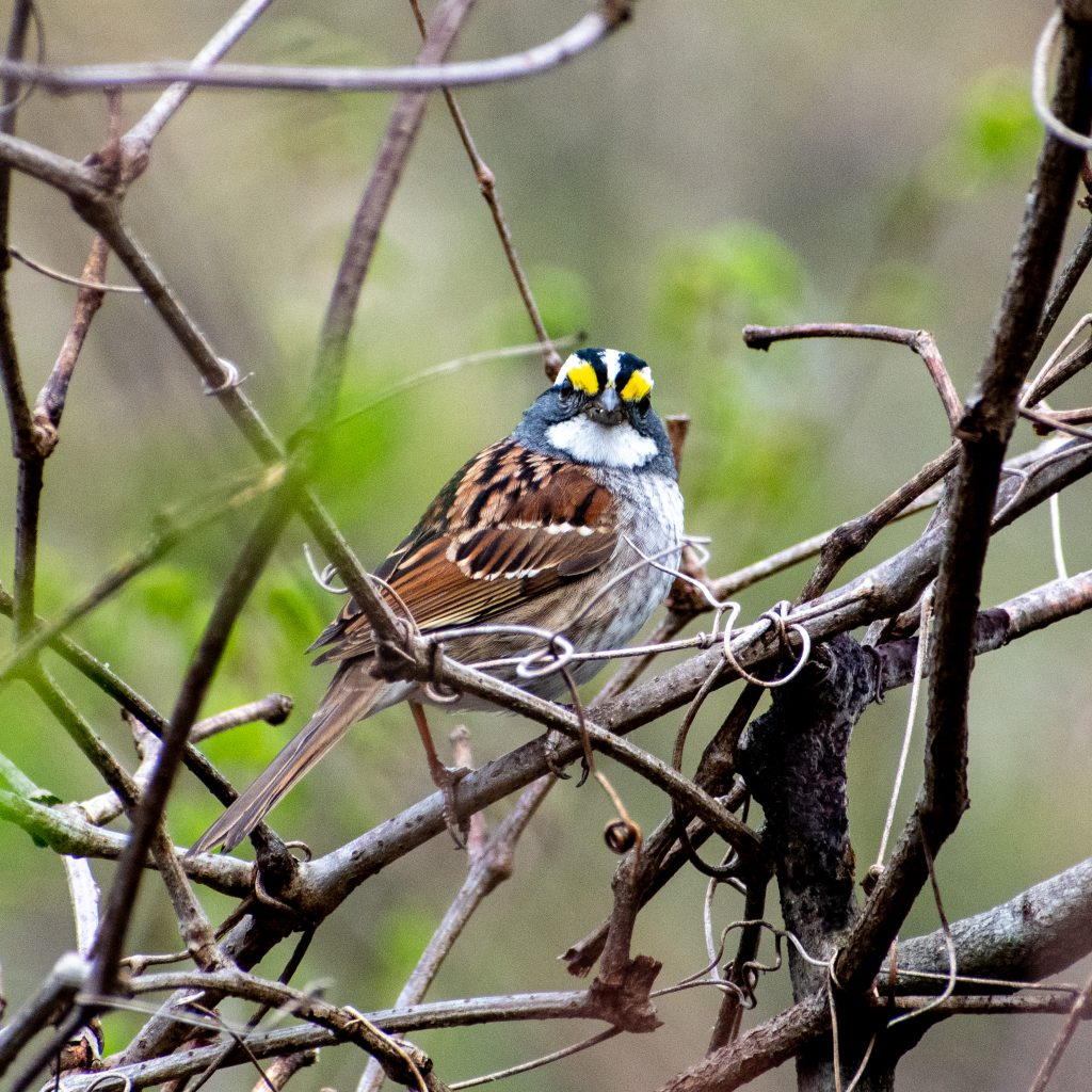White-throated sparrow, Prospect Park