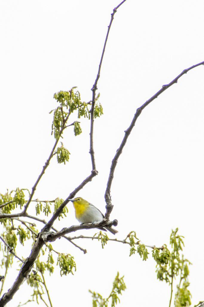 Yellow-throated vireo, Prospect Park