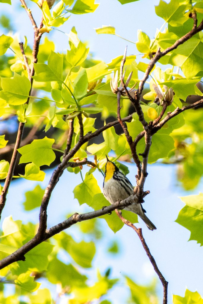 Yellow-throated warbler, Prospect Park