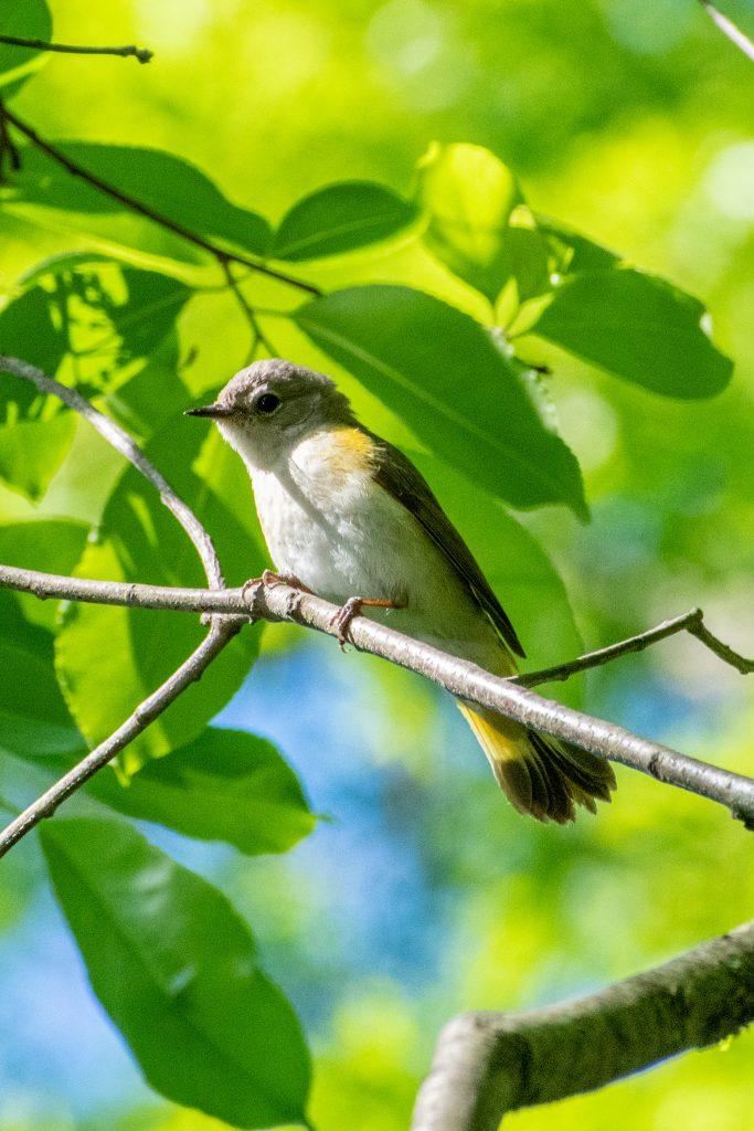 American redstart (female), Prospect Park