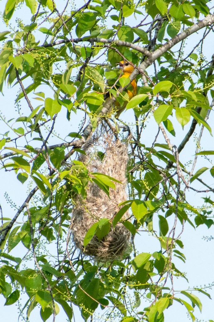 Baltimore oriole (first-year female and nest), Windham Path, Windham, NY