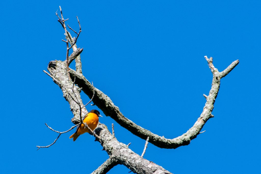 Baltimore oriole (male), Prospect Park