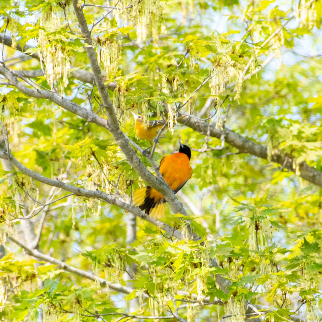 Baltimore oriole (male and female), Windham Path, Windham, NY