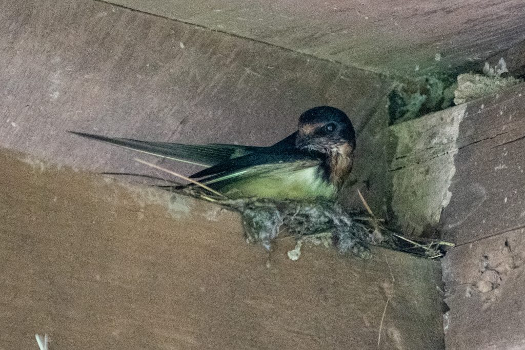 Barn swallow, building nest, Urban Cowboy Lodge, Big Indian, NY