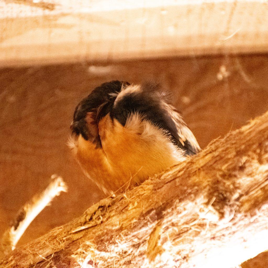 Barn swallow, Urban Cowboy Lodge, Big Indian, NY