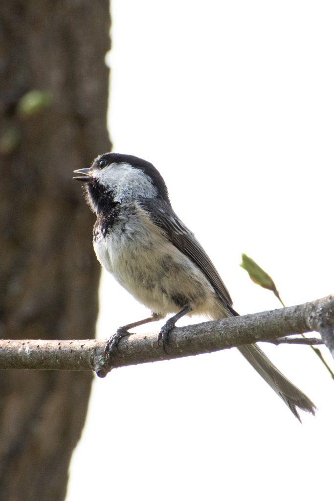 Black-capped chickadee, Windham Path, Windham, NY