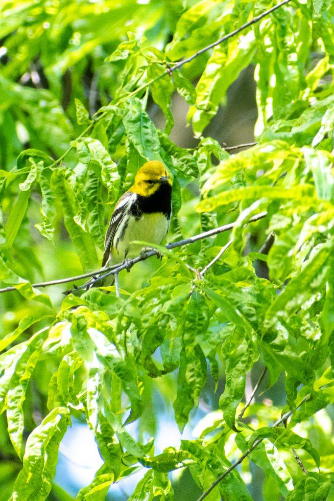Black-throated green warbler, Prospect Park