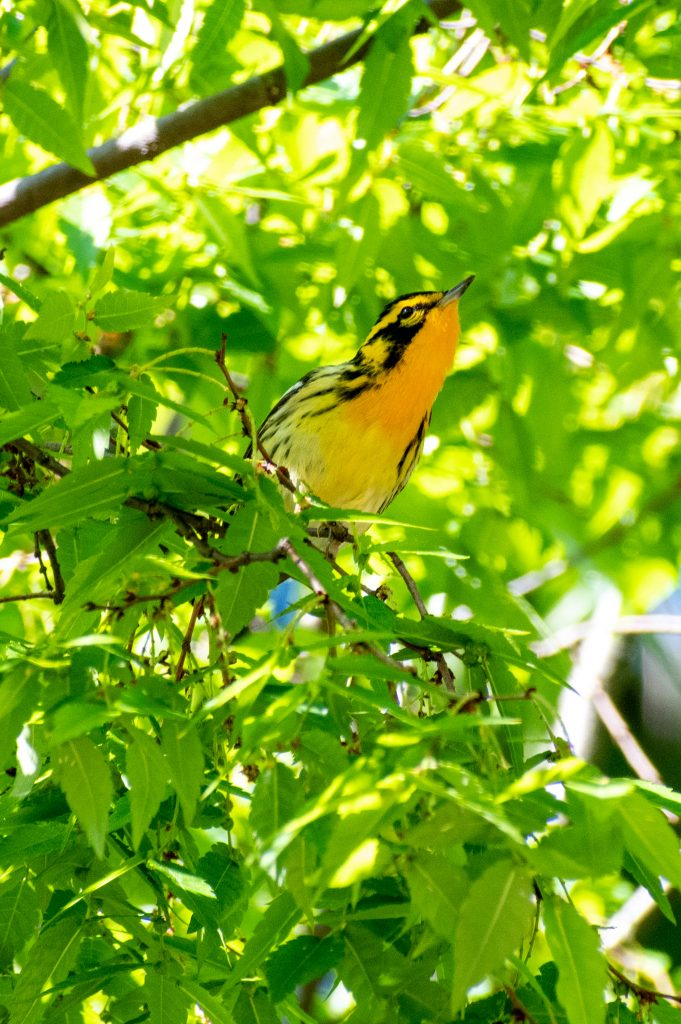 Blackburnian warbler in Japanese zelkova tree, Prospect Park