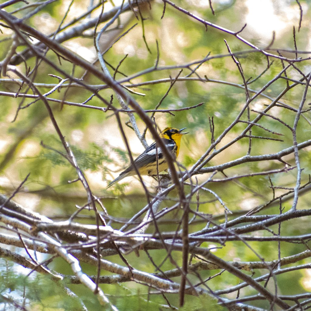 Blackburnian warbler (female), Mountain Top Arboretum, Tannersville, NY