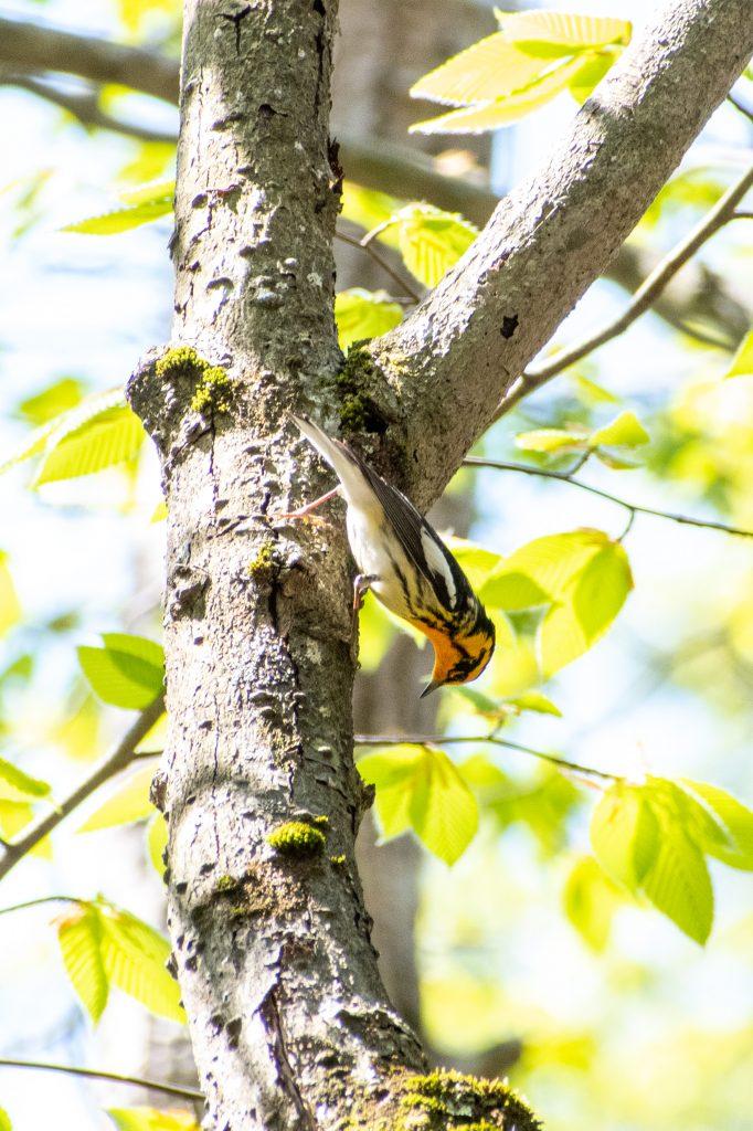 Blackburnian warbler (male), Mountain Top Arboretum, Tannersville, NY