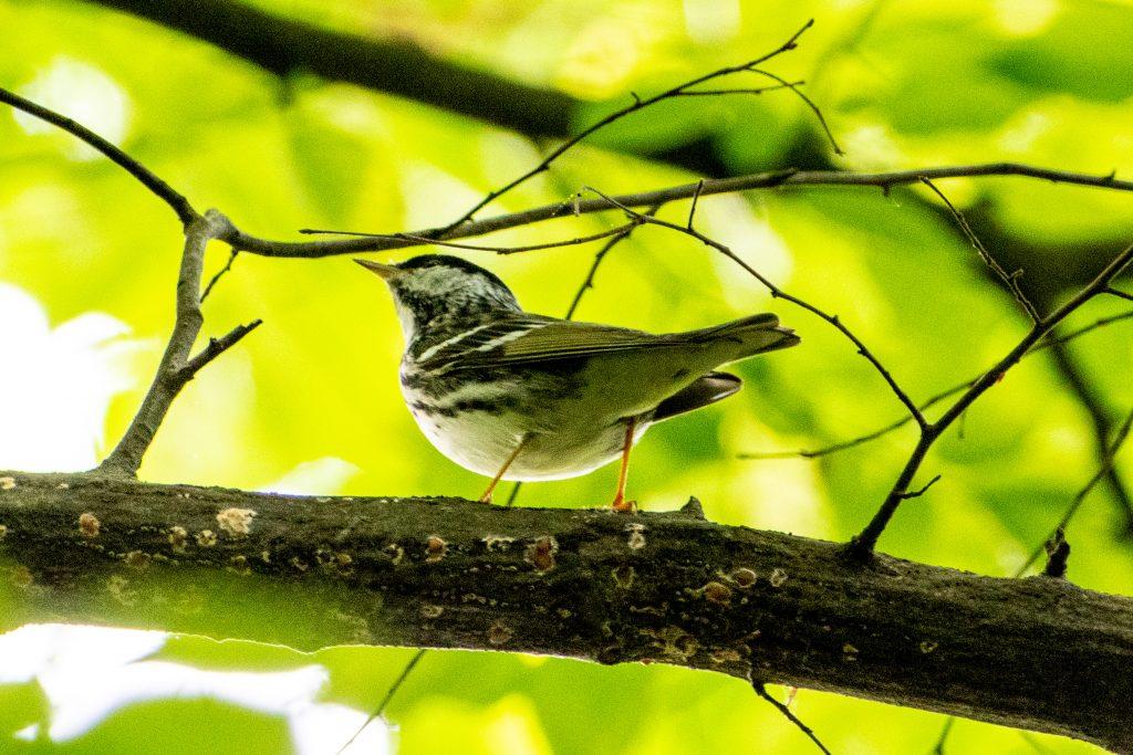 Blackpoll warbler, Prospect Park