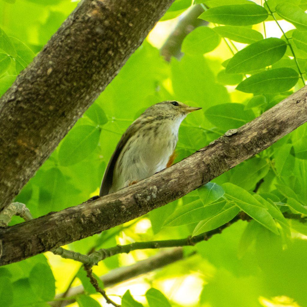 Blackpoll warbler (female), Prospect Park