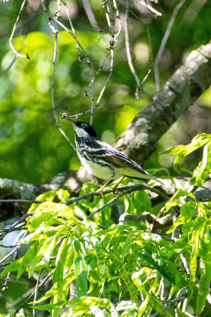 Blackpoll warbler (male), Prospect Park